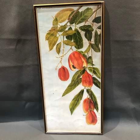 1920s Botanical Portrait Blighti Sapida Trinidad image-1