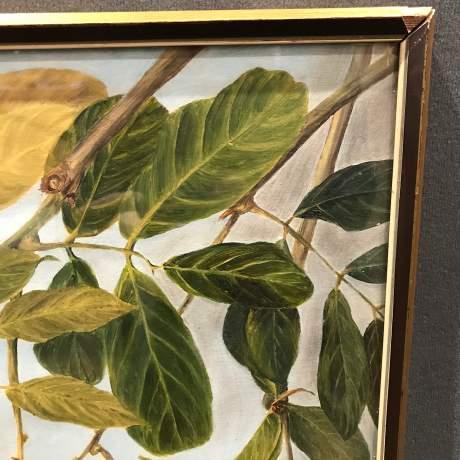 1920s Botanical Portrait Blighti Sapida Trinidad image-2