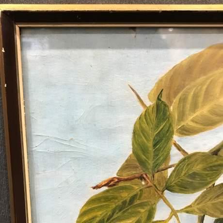 1920s Botanical Portrait Blighti Sapida Trinidad image-5