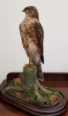 Taxidermy - A Goshawk Standing with one foot raised on a Mossy Bough image-2