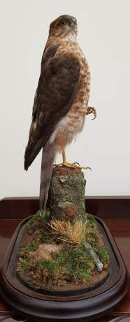 Taxidermy - A Goshawk Standing with one foot raised on a Mossy Bough image-5