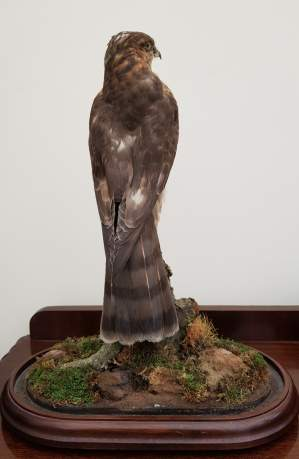 Taxidermy - A Goshawk Standing with one foot raised on a Mossy Bough image-3
