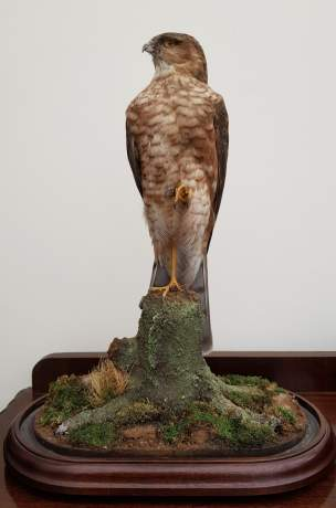 Taxidermy - A Goshawk Standing with one foot raised on a Mossy Bough image-6