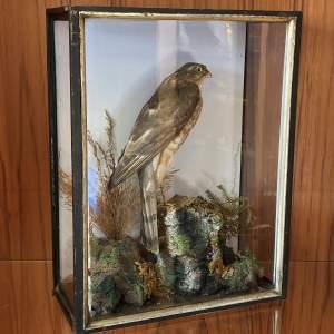 Taxidermy - A Taxidermy Sparrow Hawk by R. Allder - Naturalist