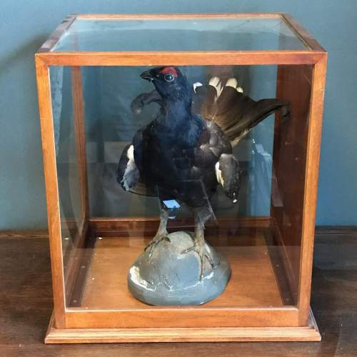 Taxidermy Black Grouse in Original Case image-1