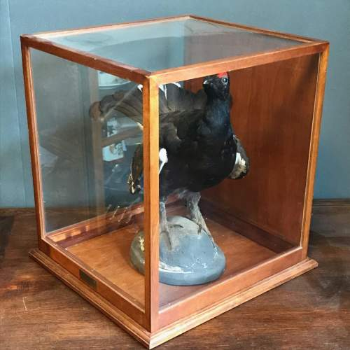 Taxidermy Black Grouse in Original Case image-2