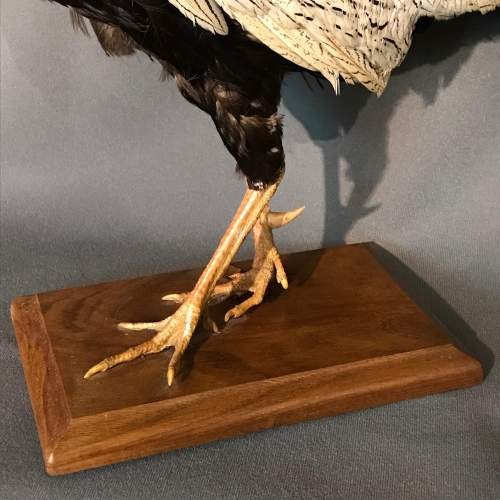 Taxidermy White Fighting Cock image-3