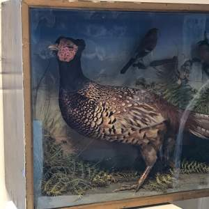 Antique Cased Taxidermy Pheasant