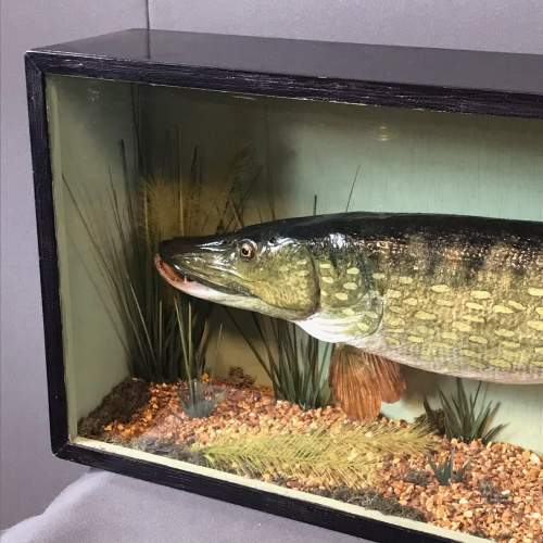 Large Early to Mid 20th Century Taxidermy Pike image-2