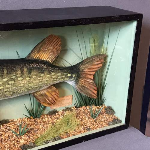 Large Early to Mid 20th Century Taxidermy Pike image-3