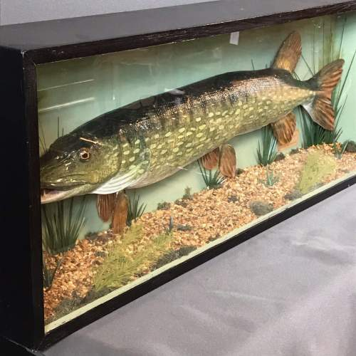Large Early to Mid 20th Century Taxidermy Pike image-4