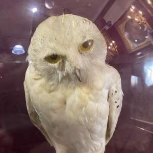 Superb Victorian Glass Dome With Snowy Owl And Tawny Owl Very Rare
