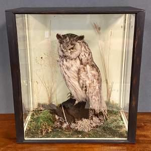 Victorian Taxidermy Short Eared Owl