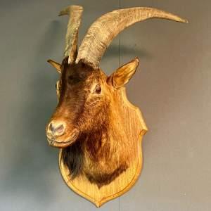 Taxidermy Mountain Goats Head Trophy