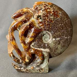 Fossil Cleoniceras Ammonite Sculpture