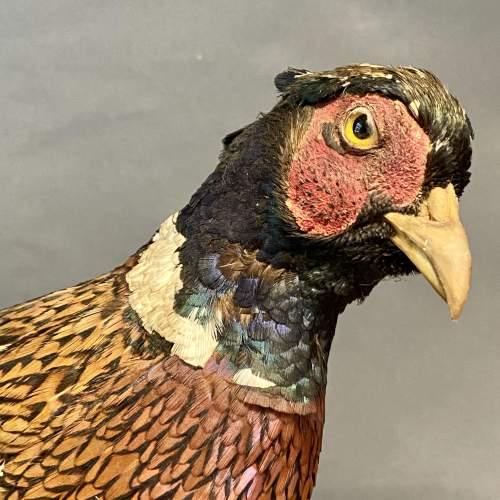20th Century Taxidermy Pheasant image-2