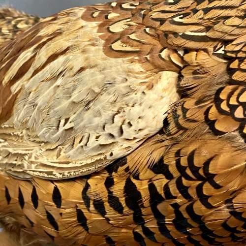 20th Century Taxidermy Pheasant image-3