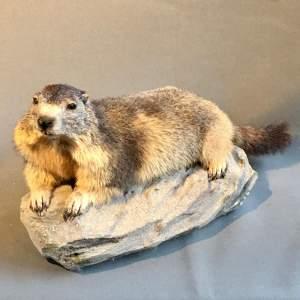 20th Century Taxidermy Marmot