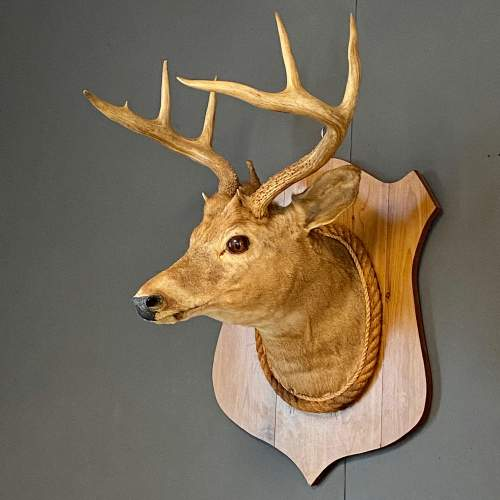 Early 20th Century Taxidermy Stags Head image-1