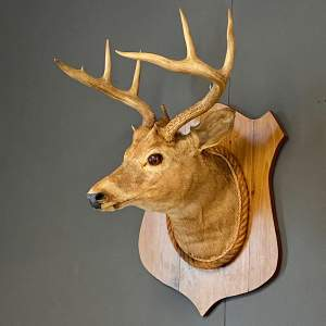 Early 20th Century Taxidermy Stags Head