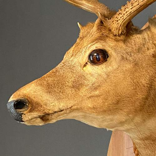 Early 20th Century Taxidermy Stags Head image-2