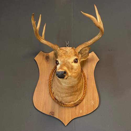 Early 20th Century Taxidermy Stags Head image-3