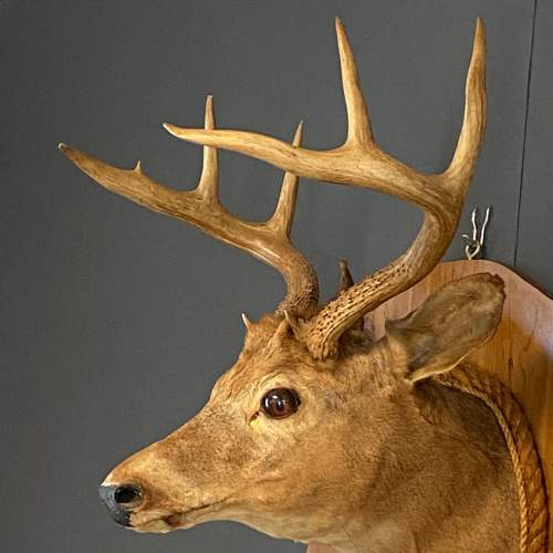 Early 20th Century Taxidermy Stags Head image-4