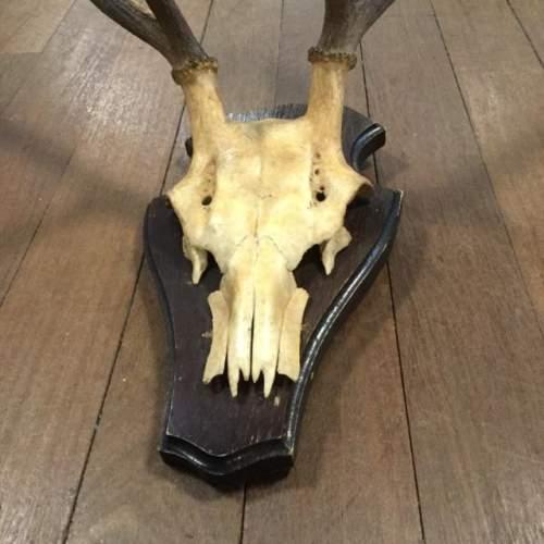 Rare Deer Antlers mounted on Wood image-2