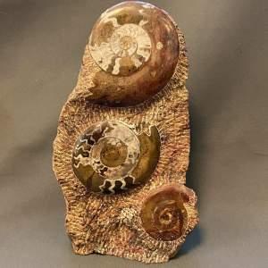 Fossilised Goniatites Seabed Column