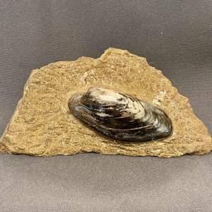 Fossil Bivalve Specimen - Cardinia Gigantea