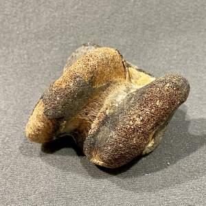 Mammal Foot Bone Fossil