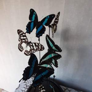 Taxidermy Dome with Graphium Sarpedon Butterflies
