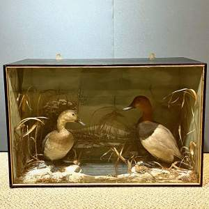 Victorian Diorama Of Male and Female Pochards Taxidermy