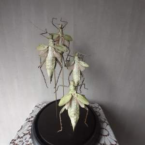 Glass Dome with Taxidermy Stick Insects - Heteroteryx Delitata