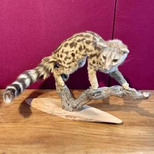 Taxidermy French Genet Wild Cat