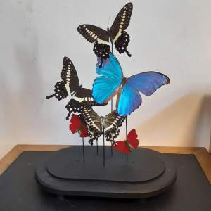 Globe with Taxidermy Papilionidae and Morphini Butterflies