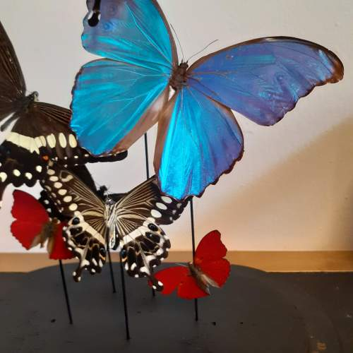 Globe with Taxidermy Papilionidae and Morphini Butterflies image-2