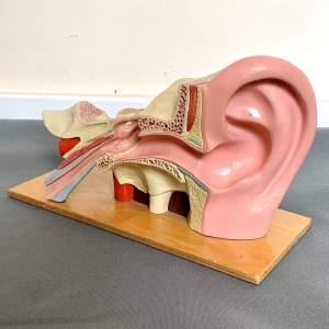 Vintage Educational Model of an Ear
