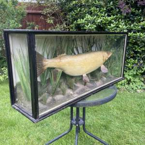 An Exceptional Taxidermy Pike Caught by H Adcock Grantham