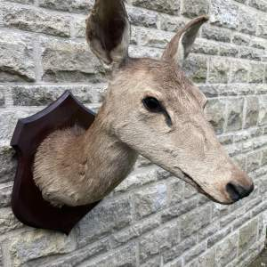 A Mounted Taxidermy Head of a Deer