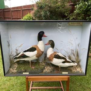 A fine Pair Of Taxidermy Shelducks Within a Glazed Case