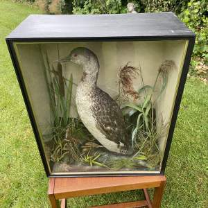 A Victorian Red Throated Diva Glazed Case - W Lowne Great Yarmouth