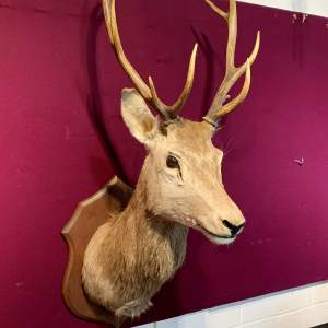 Large Mounted Taxidermy Stags Head