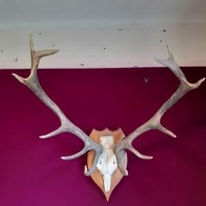 Antique Deer Antlers mounted on a Wooden Base