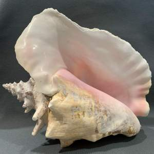 Decorative Large Conch Queen Seashell