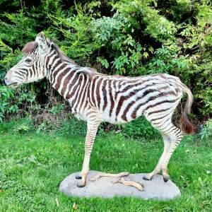Taxidermy Burchell's Zebra